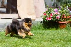 一条活跃德国品种狗沿草坪跑 图库摄影