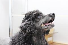 一条黑长卷毛狗在一个兽医诊所的医生的办公室坐 免版税库存图片