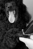 一条黑长卷毛狗的修饰爪子 图库摄影
