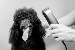 一条黑长卷毛狗的枪口的理发 库存图片