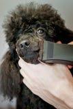 一条黑长卷毛狗的枪口的理发 免版税库存图片