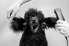 一条黑长卷毛狗的枪口的理发 免版税库存照片