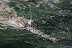 一条Gavial鳄鱼的接近的面孔在水中 库存照片