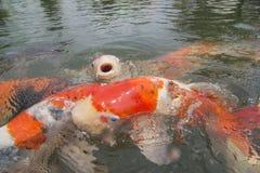 一条koi鱼打开在前面的嘴神色 库存照片