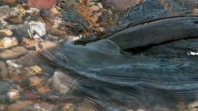 一条montrous wels鲶鱼鲶类glanis在美丽的干净的河在法国的南部的阿尔比 免版税库存图片