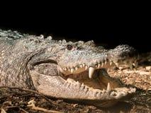 一条Morlets鳄鱼在奥地利动物园里 免版税库存图片