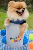 一条Pomeranian狗的特写镜头在容器的在草 免版税库存图片