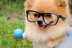 一条Pomeranian狗的特写镜头在容器的在草 免版税库存照片
