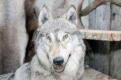 一极性狼天狼犬座tundrarum的被充塞的头 库存照片