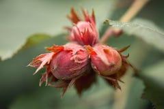 一枚坚果 包括坚硬或坚韧壳的果子在一个可食的仁附近 图库摄影