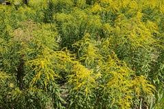 一枝黄花绽放的canadensis殖民地在威严 免版税库存图片