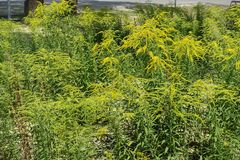 一枝黄花canadensis很多黄色花在夏天 免版税库存照片
