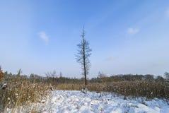 一树桤木-在沼泽在冬天 免版税库存照片