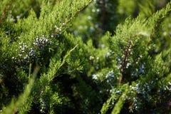 一树thuya的新绿色分支在天太阳的光芒的 免版税库存图片