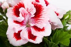 一株两色大竺葵的花 免版税库存照片
