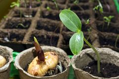 一株剑兰的dicot植物和发芽电灯泡的幼木在泥煤罐的在窗台 免版税库存照片