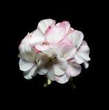 一株大竺葵的花在黑背景的 免版税图库摄影