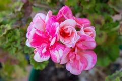 一株好的红色大竺葵在庭院里 免版税库存图片