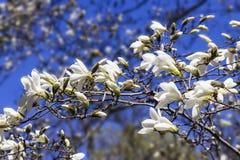 一株开花的木兰的分支 图库摄影