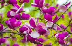 一株开花的木兰的分支 库存照片