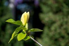 一株开花的木兰的特写镜头 库存照片