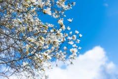 一株惊人的开花木兰 背景蓝色云彩调遣草绿色本质天空空白小束 免版税库存图片