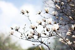 一株惊人的开花木兰 背景蓝色云彩调遣草绿色本质天空空白小束 图库摄影