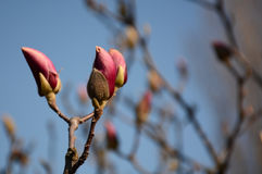 一株木兰的精美芽反对蓝天背景的 免版税库存图片
