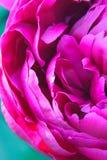 一株桃红色牡丹的左边 免版税图库摄影