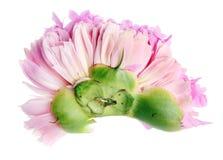 一株桃红色牡丹的新鲜的被击碎的损坏的芽 库存图片