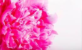 一株牡丹的一朵桃红色花的片段在白色背景的 免版税库存图片