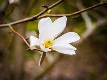 一株白色木兰的开花可爱的白花 免版税库存照片