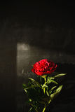 一株红色牡丹的阴影由自然光的从在黑白垩板岩背景的一个窗口 免版税图库摄影