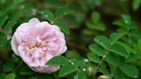 一株美丽的桃红色牡丹上升了花 股票录像