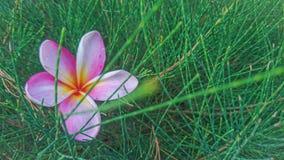一株美丽的赤素馨花,当日出 免版税库存图片