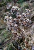 一株蓟的干燥花在冬天以后晒干 库存图片