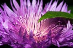 一株蓟的花与明亮地紫罗兰色长的瓣的 免版税库存图片