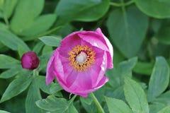一株野生牡丹的花,芍药属mascula,看法到开花里,巴伐利亚,德国,欧洲 免版税库存图片
