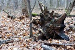 一根大断枝森林的深度 库存图片
