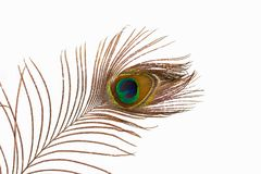 一根孔雀` s羽毛在演播室 免版税库存图片