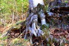 一根山毛榉的根在路的向冬天驻地和温泉Poiana布拉索夫 免版税图库摄影