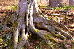 一根山毛榉的根在路的向冬天驻地和温泉Poiana布拉索夫 免版税库存照片