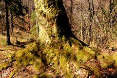 一根山毛榉的根在路的向冬天驻地和温泉Poiana布拉索夫 免版税库存图片