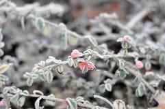 一根枝杈的冬天早晨照片有美好的图的用霜盖的叶子 图库摄影