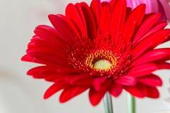 一根红色花大丁草的特写镜头:它是家庭菊科的草本植物类,起源于非洲、亚洲和S 图库摄影
