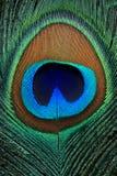 一根美丽的孔雀羽毛的特写镜头 免版税库存图片