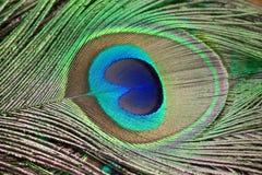 一根美丽的孔雀羽毛的特写镜头 免版税库存照片