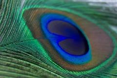 一根美丽的孔雀羽毛的特写镜头 库存照片