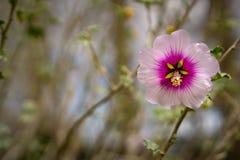 一朵美丽的桃红色木槿花 库存照片
