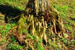 一根老山毛榉的根 向冬天驻地和温泉Poiana布拉索夫的路 库存图片
